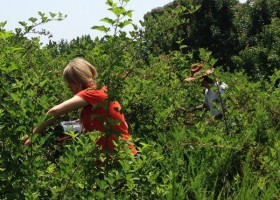 Blueberry picking in the hills near the Mississippi Delta.
