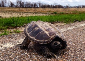An alligator snapping turtle in the Mississippi Delta