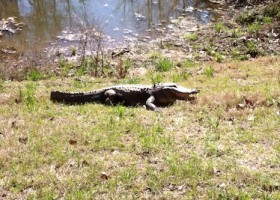 An alligator in the Mississippi Delta. Circa 2012. ©THE DELTA BOHEMIAN